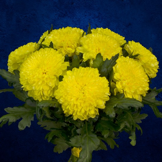 9 желтых хризантем - фото 7175
