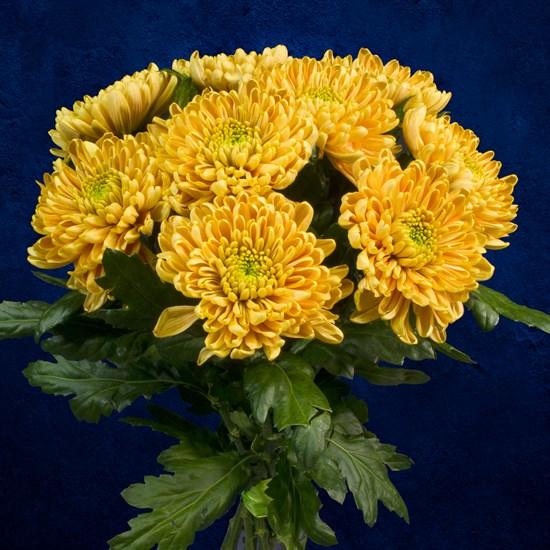 Золотистые хризантемы, 9 шт - фото 7177