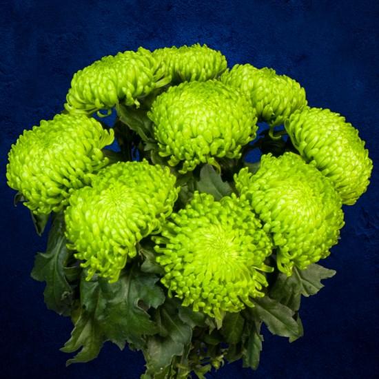 9 зеленых хризантем - фото 7185
