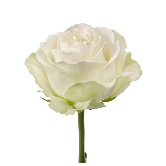 Букет роз Аваланш - фото 8029