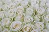 101 роза Аваланш в шляпной коробке - фото 5814