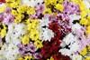 Букет 101 хризантема Сантини - фото 6459