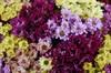 Букет 151 хризантема Сантини - фото 6465