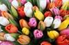 Букет 101 тюльпан, радужный микс - фото 6839