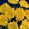Золотистые хризантемы, 9 шт - фото 7179