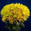 Солнечный букет хризантем - фото 7180