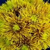 Солнечный букет хризантем - фото 7182