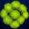 9 зеленых хризантем - фото 7186